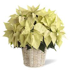 white poinsettia large white poinsettia in basket nationwide delivery