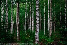 birch tree forest black on tour