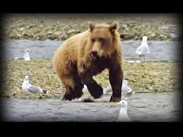 Animal Planet Documentary Grizzly Bears Full Documentaries - hbtv