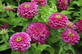zinnia flower growing zinnia plants tips on how to plant zinnias