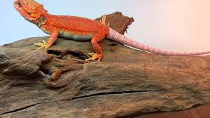 josh red hypo trans female update feisty dragon