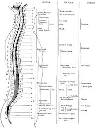 Dermatomes Map Spinal Nerves Diagram Bdsgiaitri