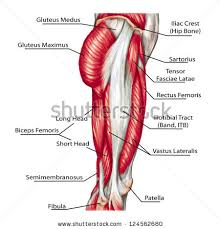 Anatomy Of Body Muscles Leg Anatomy Stock Images Royalty Free Images U0026 Vectors Shutterstock