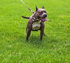 american pitbull terrier ireland american pit bull terrier dog breed information pictures