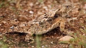 regal horned lizard animal profile