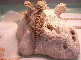 reptile bearded dragons babies
