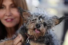 Ugliest World U0027s Ugliest Dog 2016 Blind Chihuahua Chinese Crested Mix