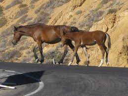 ferrari horse vs mustang horse macarbon u0027s blog wild horses take on the hill