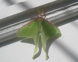 maynard outdoors and history of maynard moth