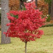 japanese maple bloodgood clarenbridge garden centre