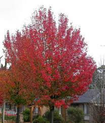 autumn blaze flowering pear tree for sale fast growing trees