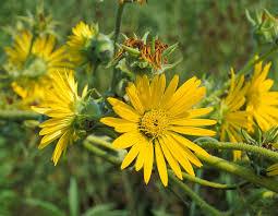 missouri native plants compass plant mdc discover nature