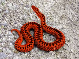 types of red colors this is a scarlet snake this is also another type of red and this