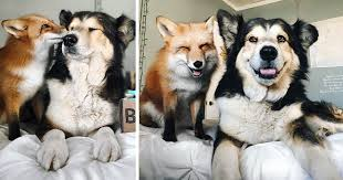 Blind Dog And Friend Pet Fox Becomes Best Friends With A Dog Bored Panda