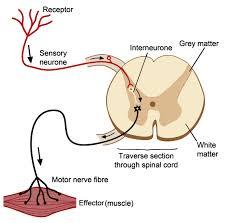 Knee Reflex Arc The Nervous System Worksheet Edplace