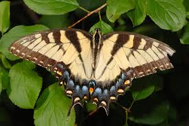 swallowtail butterfly pictures