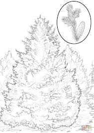 white spruce coloring page free printable coloring pages