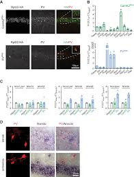 What Is Interneuron An Alternative Splicing Switch Shapes Neurexin Repertoires In