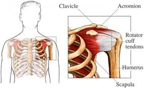 Anatomy Of Rotator Cuff Medical Legal Demonstrative Evidence Anatomy Of The Shoulder And