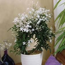 Home Plant Decor by Jasmine Fragrance Bedroom Plant Relaxing Indoor Plant Air