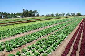Types Of Vegetable Gardening by Vegetables In Western Australia Agriculture And Food