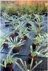eucalyptologics git forestry consulting information resources on