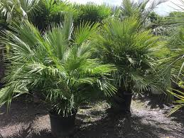 mediterranean fan palm tree chamaerops humilis european fan palm free uk delivery palm