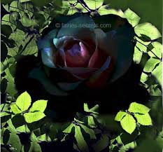 real black roses http www fairies secrets images black mine lg jpg