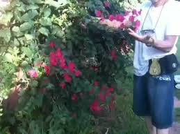 Bougainvillea Topiary - how we prune bougainvillea youtube