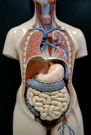 Human Anatomy Careers Laurindon Saterusi Www Uocodac Com Part 108