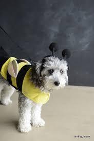 Mini Dachshund Halloween Costumes 25 Creative Costumes Dogs Nobiggie