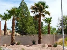 mexican fan palm growth rate types of palm trees affordable tree service las vegas nv