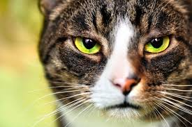 pros and cons of the new fiv vaccine for cats fiv feline immunodeficience virus in cats