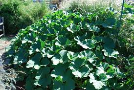 Squash Plant Diseases Pictures - growing squash how to grow squash planting squash