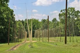 Hops On Trellis Hops Central Virginia Ag Spotlight