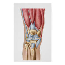 Knees Anatomy Knees Anatomy Posters Zazzle