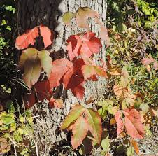 didyouknow poison ivy reddish color fall