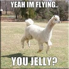 Meme Bebek - baby llama don t need no drama meme google search this is an