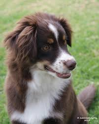 runnin c australian shepherds nav ah a 5 5 month old red tri miniature american shepherd puppy