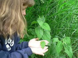 pnw native plants top native plants to learn for herbal medicine part 2 of 2