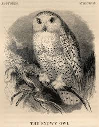 file snowy owl from yarrell history of british birds 1843 jpg