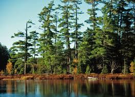 white pine predicament tree diseases savatree