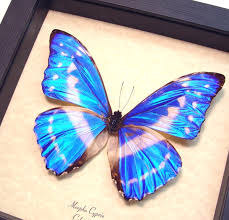 morpho cypris framed butterflies and insects wholesale