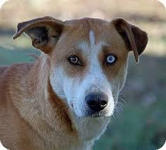 australian shepherd border collie sahara adopted dog mora mn australian shepherd border