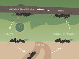 results how does a parasite create zombie like behavior