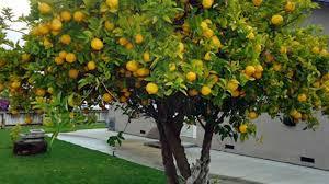 albero giardino 10 alberi da frutto da coltivare nell orto in giardino o sul balcone