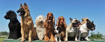Comfort Pet Certification Service Dog Certifications