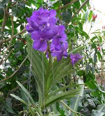 vanda orchids caring for vanda orchids as house plants