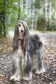 afghan hound arizona animals that don u0027t 40 photos dog breeds afghan hound and dog
