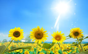 sunflower wallpapers sunflower wallpaper 47 desktop wallpaper hdflowerwallpaper com